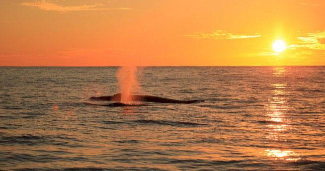 Whale Watching at Sunset